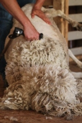 2016 Shearing Leicesters 017