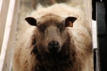 2016 Shearing Shetlands 055