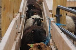 2016 Shearing Shetlands 087