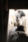 2016 Shearing Shetlands 107