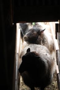 2016 Shearing Shetlands 109