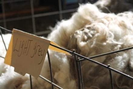 2016 Shearing Shetlands 127
