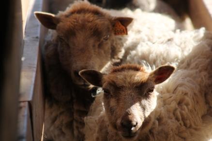 2016 Shearing Shetlands 133
