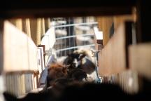 2016 Shearing Shetlands 144