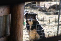 2016 Shearing Shetlands 145