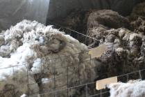 2016 Shearing Shetlands 163