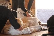 2016 Shearing Shetlands 209
