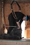 2016 Shearing Shetlands 237