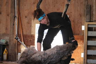 2016 Shearing Shetlands 241