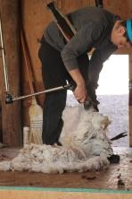 2016 Shearing Shetlands 248